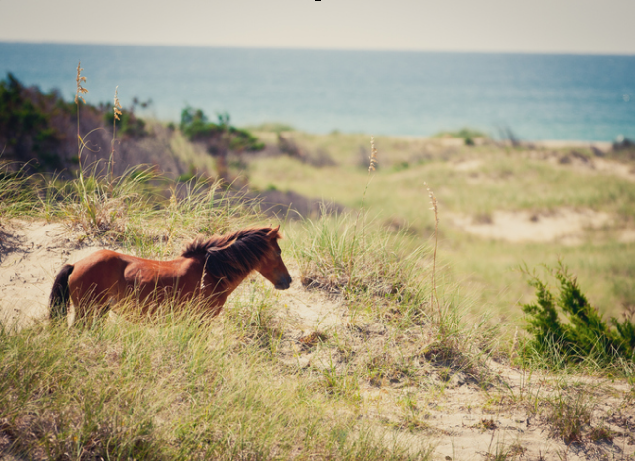 Wild horses on a beach in beautiful Outer Banks, North Carolina.